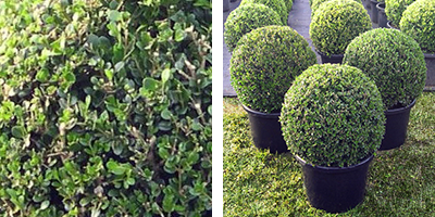 Buxus m. 'Japonica' Topiary Ball