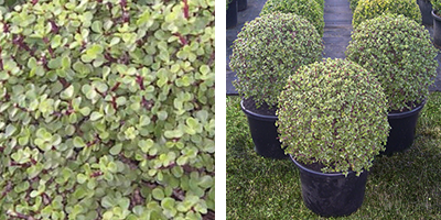 Portulacaria afra Topiary Ball